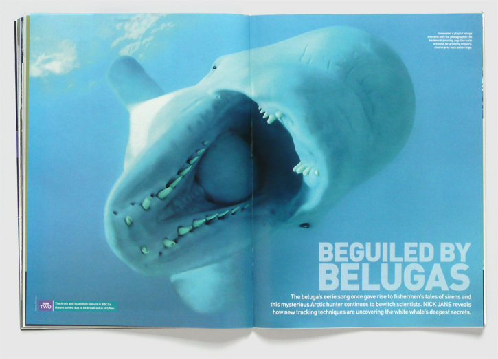 Design for BBC Wildlife magazine by Nick McKay, beluga opening spread